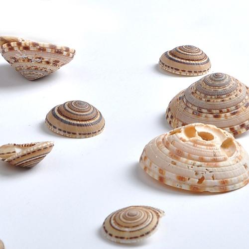 [조개류]비단 고둥-50g